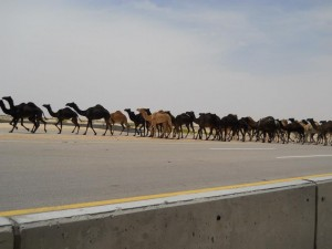camel crowd